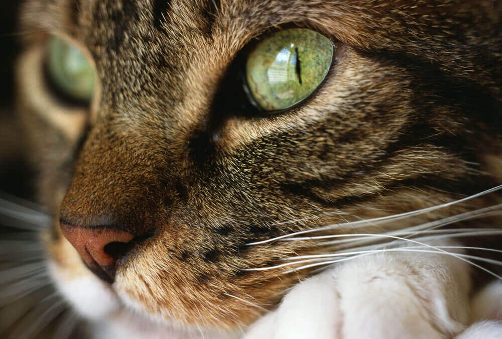 What is Declawing and How can we Prevent it